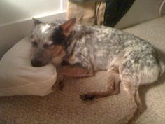 Lost Blue Heeler Houston TX 77025. Male. 3/4/14 http://hspca.convio.net/site/News2?page=NewsArticle&id=35955&news_iv_ctrl=1101 Lost Blue Heeler  Cutter has been missing for a week.  Cutter has been missing for a week,I miss my buddy and my kids will be completely heart broken. PLEASE help me locate him. roberthbrandon@yahoo.com