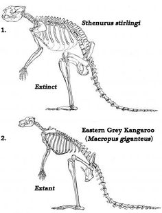 New study suggests ancient Kangaroos were walkers and not hoppers.