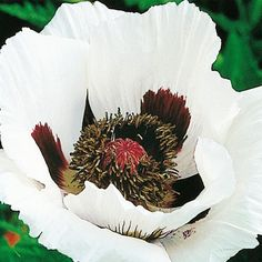 Royal Wedding Oriental Poppy