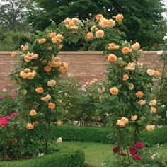 Crown Princess Margareta Climbing - David Austin Roses. A shrub rose that can be trained into a climber.
