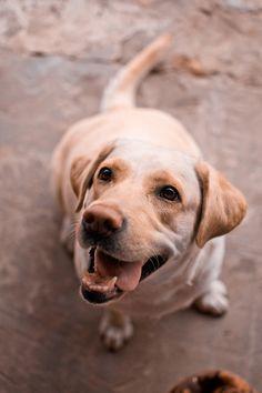 labrador smile