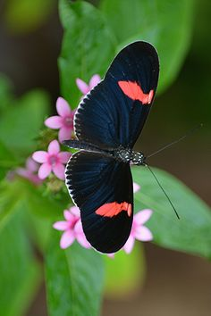 ~Susan Ford Collins Red flag winged Heliconius sits atop pink Pentas~