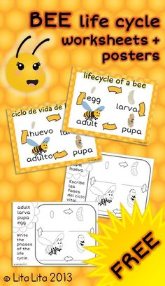 FREE bee life cycle worksheets english+spanish