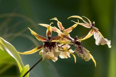 Degarmoara-'Stars-and-Bars' - See it at The Orchid Show www.chicagobotani...