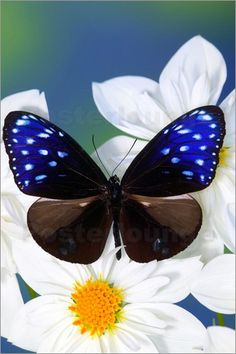 Striped Blue Crow Butterfly on white flower