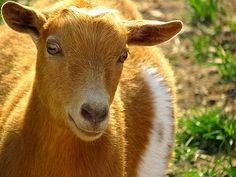 pygmi goat, pygmy goats