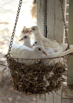 doves nesting in a wire basket