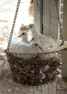 Doves nesting in a basket