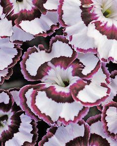 Dianthus, Raspberry Swirl. dutchgardens.com