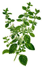 Lemon Balm: In the Middles Ages lemon balm was used to soothe tension, dress wounds, & a cure for toothache, skin eruptions, mad dog bites, crooked necks, and sickness during pregnancy. As a medicinal plant, lemon balm has traditionally been employed against bronchial inflammation, earache, fever, flatulence, headaches, high blood pressure, influenza, mood disorders, palpitations, toothache & vomiting. A tea made from Lemon balm leaves is said to soothe menstrual cramps and helps relieve PMS.