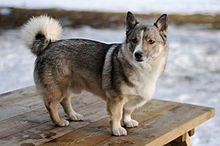 viking, anim, swedish valhund, wolf corgi, pet, puppi, cattle dogs, rats, swedish vallhund