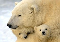 A mother polar bear cuddles with two of her three cubs on March 22. The cubs were born last November at the Moscow Zoo.