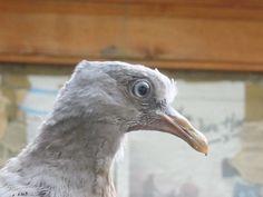 Woodpigeon juvenile