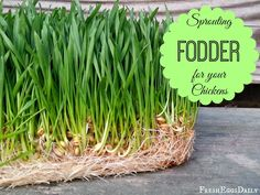Growing Sprouted Fodder for your Chickens plus Chick Fodder Cakes