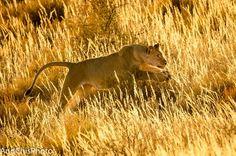 "Photo ""KalahariLioness"" by AndChisPhoto"