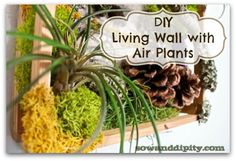 An easy mini DIY living wall with air plants #wallgardens