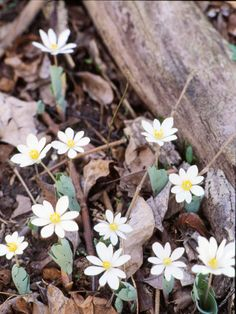 Bloodroot.. This herbaceous perennial makes its appearance in March, shooting up white flowers that last until late spring. It's a good fit for either a shaded or woodland garden.