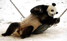 Cheer up, giant panda. That tire is meant for swinging.