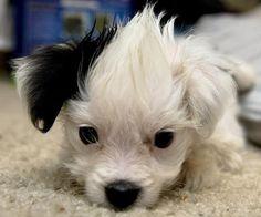adorable maltipoo.  look at it's black ear!!