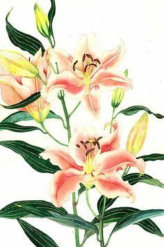 Oriental lilies, by Gabby Malpas botan illustr, lili 532x800, gabbi malpa, art, paint, beauti, orient lili, flower, floral