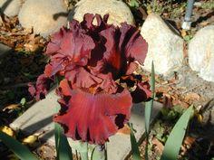 Iris (Iris 'House Afire') uploaded by Betja