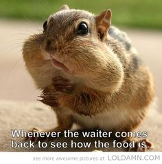 cute! True story anim, foods, squirrels, funny pictures, funni, nut, chipmunks, mouths, chubby cheeks