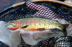 Catch a Native Greenback Cutthroat on a Fly
