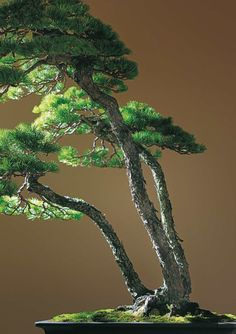 Green Bonsai Trees