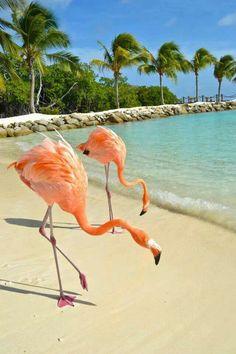 Aruba's flamingos
