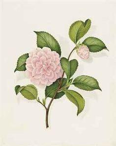 peony botanical drawing