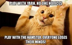 Play with yarn, no one notices - Play with hamster, everyone loses their minds! #catoftheday