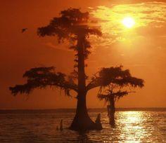trees, cypress tree, state tree, cypress knee, bald cypress
