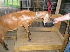 Train a Milk Goat- this is a great blog about running a small homestead