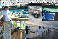 Pawikan Conservation Center Help save the Pawikan.Learn and be educated about the Life cycle of Sea Turtles