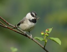 A Mountain Chickadee with a delicious spider.Photo © Mike Wisnicki