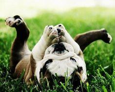 roll, anim, god, bulldog puppies, pet, happy puppy, english bulldogs, yoga poses, prayers
