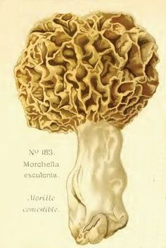 Morel mushroom.....these are delicious when correctly prepared and fried!