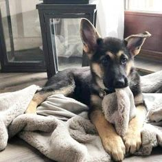 Find Out More On The Confident German Shepherd Pups Health #GermanShepherdsThroughNovember #germanshepherds1o1 #GermanShepherdPuppies