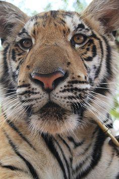 tiger temple by gepiblu, via Flickr