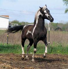 Van Bar Emphasis  Black Tovero APHA Stallion