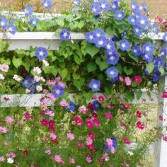 Heavenly Blue Morning Glory-     Pictured here with Pink Cosmos.  An  easy to grow vine of blue, not purple or  lavender flowers. Sow 1/8 inch deep  after all danger of frost in full sun.