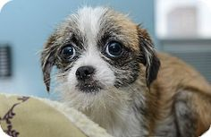 Tabitha is a Chihuahua/Jack Russell Terrier Mix for adoption at the Humane Society of New York.
