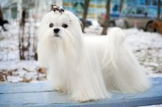 Grooming and Cuts for a Maltese Dog