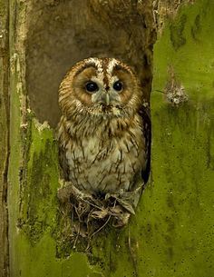 Tawny Owl - Ronald Coulter