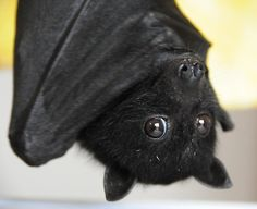 BATS ARE ADORABLE. | Community Post: This Is Why We Should All Love Bats
