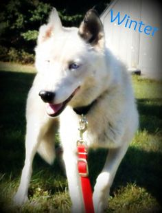 Petfinder  Adoptable | Dog | Siberian Husky | Watertown, SD | Winter - Winter is approximately 4-5 years old and a Siberian Husky. She is on the smaller side for a Husky and weighs approximately 40-45 pounds and is full grown.  Winter has come along way since arriving in rescue. She was petrified when she first came, but she has adjusted to being handled and loved on daily. She is also doing well walking on the leash, but sometimes she gets nervous and freezes up. A little bit...