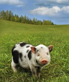 One day I will own a pet pig!