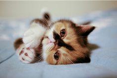 i want a calico persian