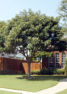 Best Six Large Shade Trees for North Texas