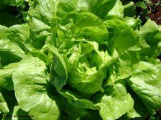 Horta - como plantar Alface (Lactuca sativa ) #alcanceosucesso